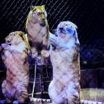 Arlette_Gruss_Invitart_Tiger
