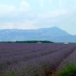 Lavendel_Reihen_invitart
