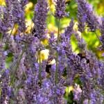 Lavendel_im Garten_ invitart