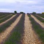 Lavendel_neue_Pflanzen_invitart