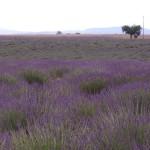 Lavendelfeld_invitart