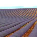 Lavendelreihen_invitart